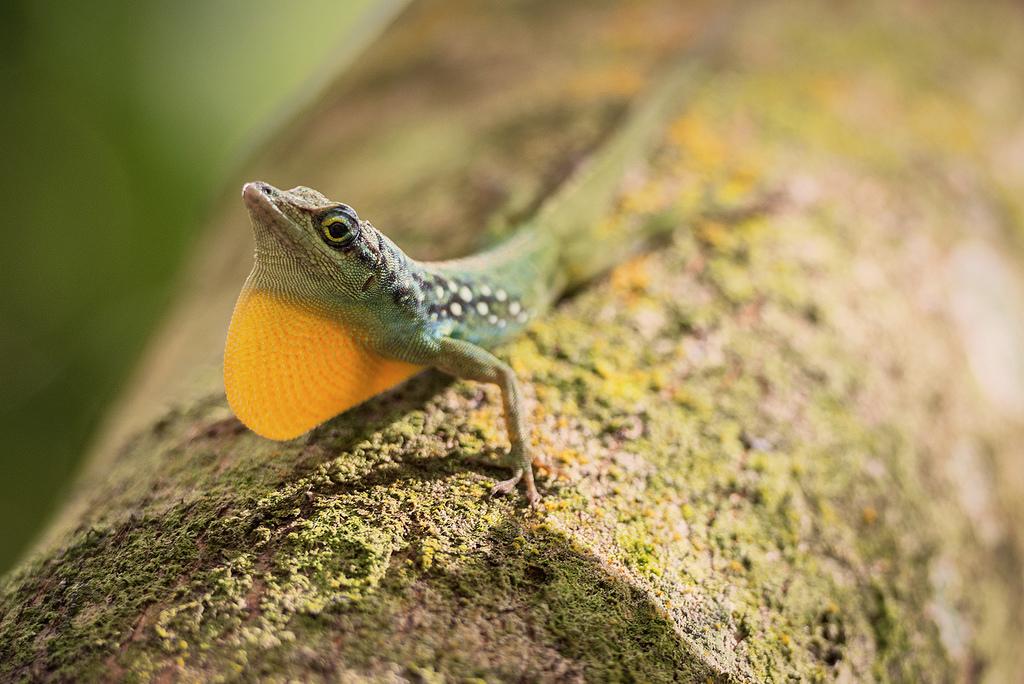 TO5A ARRL Contest Lizard, Martinique Island. Tourist attractions spot