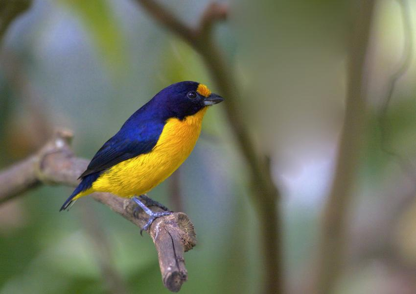 Trinidad Island Trinidad and Tobago 9Y4/K4NHW Tourist attractions spot Violaceous Euphonia.