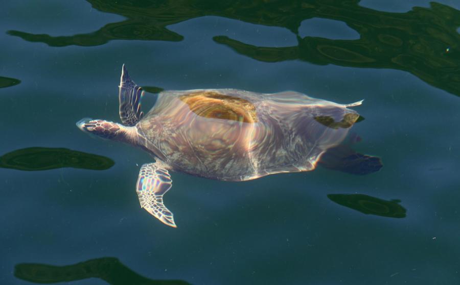 Trinidad Island Trinidad and Tobago 9Y4/K4NHW Turtle