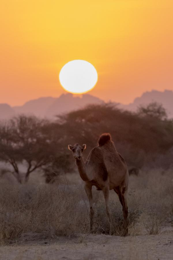 TT8RR TT8XX Young camel at sunset, Ennedi, Chad.