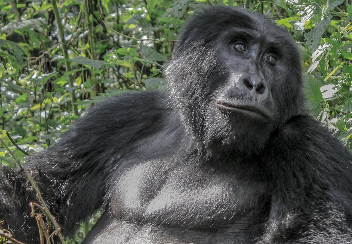 Uganda 5X2B DX News Gorilla