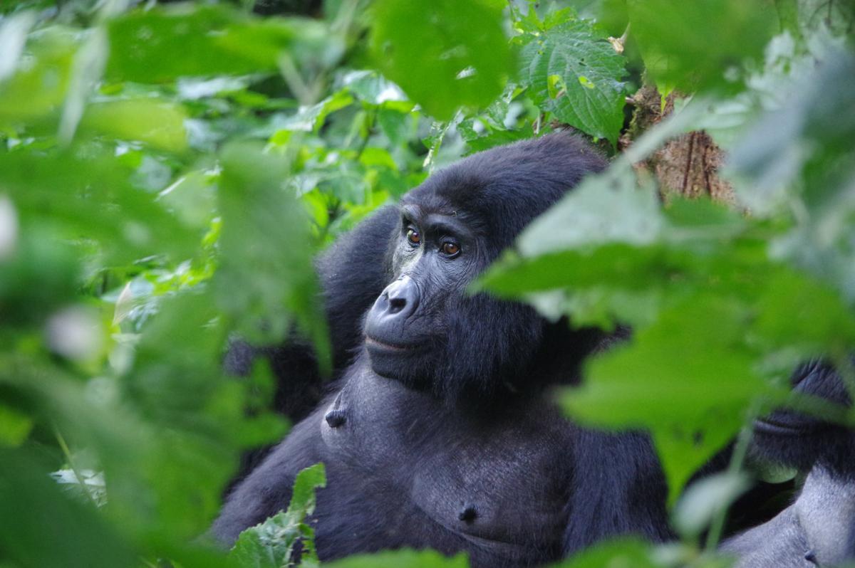 Горилла, национальный парк Бвинди, Уганда
