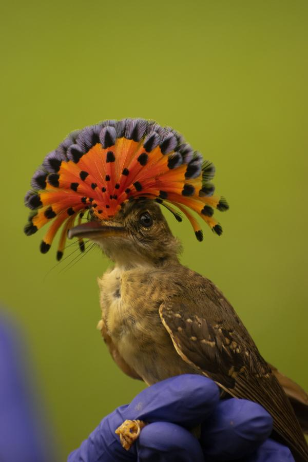 V31NC Royal Flycatcher, Belize. Tourist attractions spot