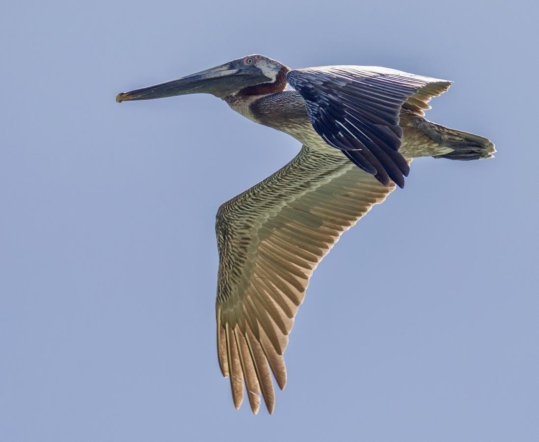 V47X Brown Pelican, Saint Kitts Island, Saint Kitts and Nevis. DX News