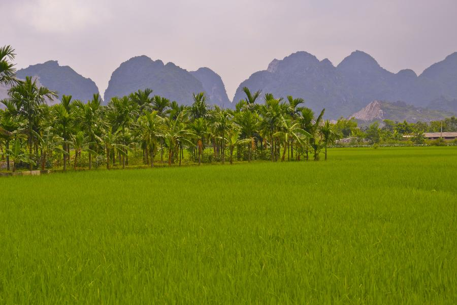 Vietnam XV9OK Rice fields