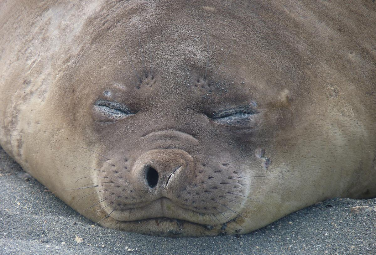 VK0AI Sleeping, Elephant seal, Macquarie Island. Tourist attractions spot
