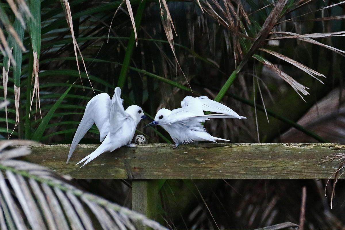 VK9LA White Terns, Lord Howe Island. Tourist attractions spot