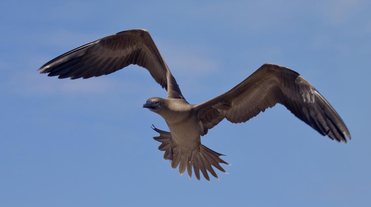 VK9XT Juvenile Brown Booby (Sula sula), Chirstmas Island. DX News