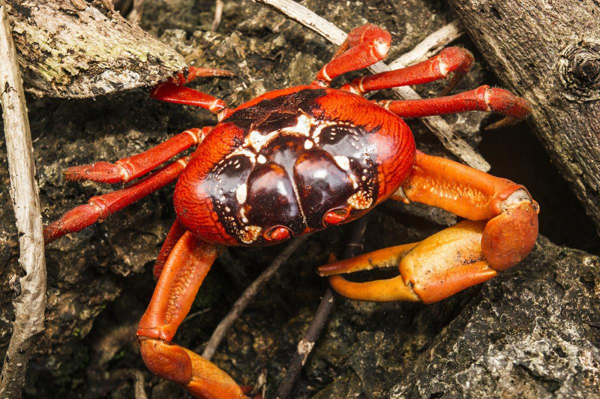 VK9XT Red Crab, Christmas Island. Tourist attractions spot