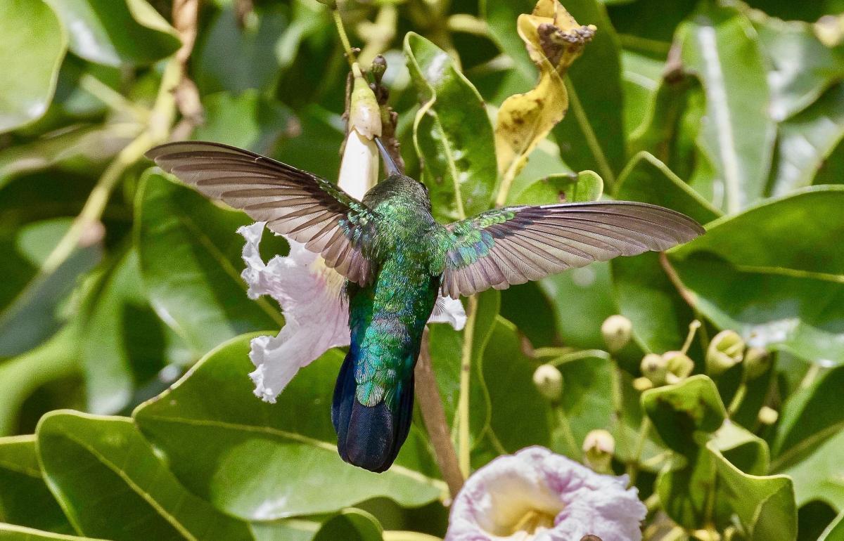 VP2MUW Green-throated Carib Hummingbird, Montserrat Island. Tourist attractions spot