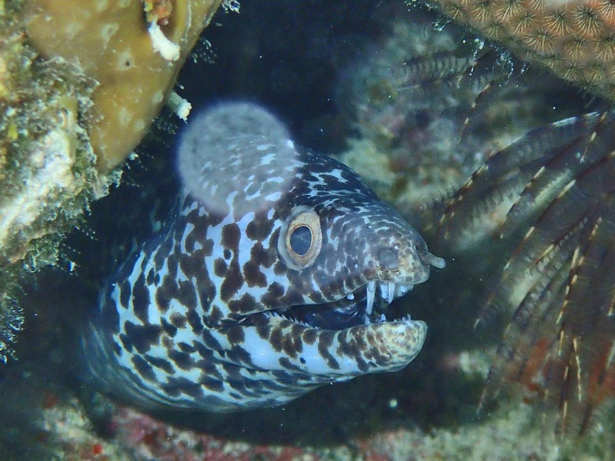 VP2V/WJ2O Spotted Moray Eel, British Virgin Islands. Tourist attractions spot