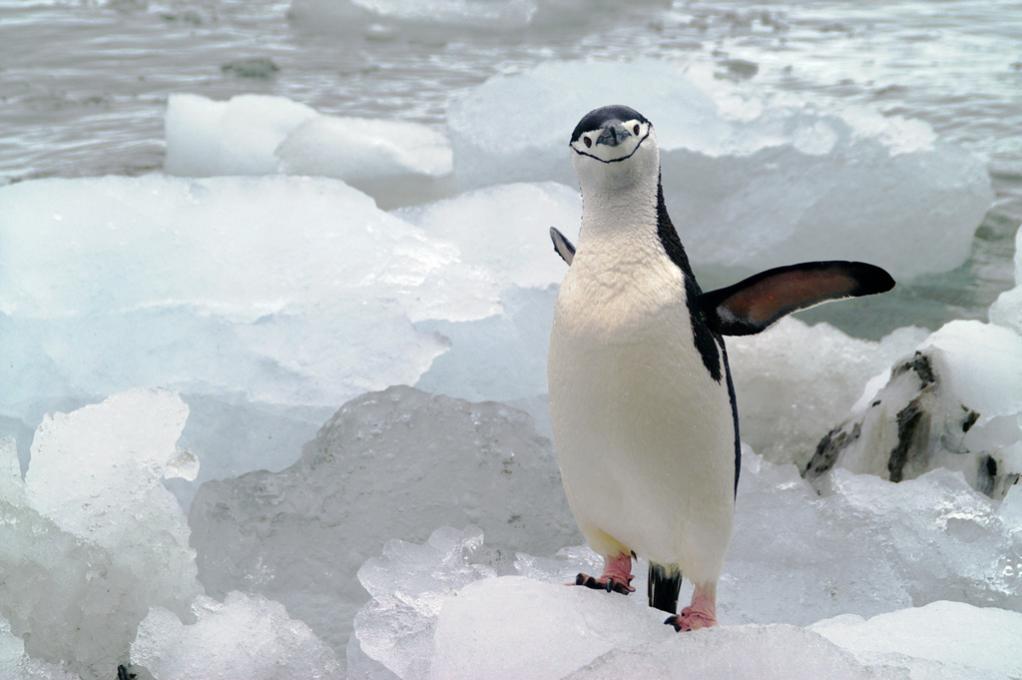 VP8/VP8DXU Chinstrap penguin, Coronation Island, South Orkney Islands. DX News
