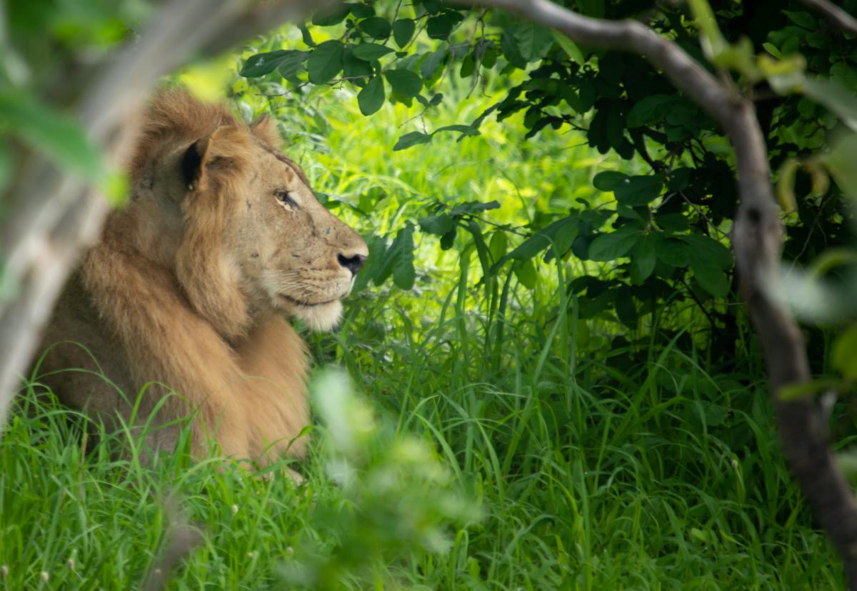 9J2MYT Lion, Zambia. Tourist attractions spot