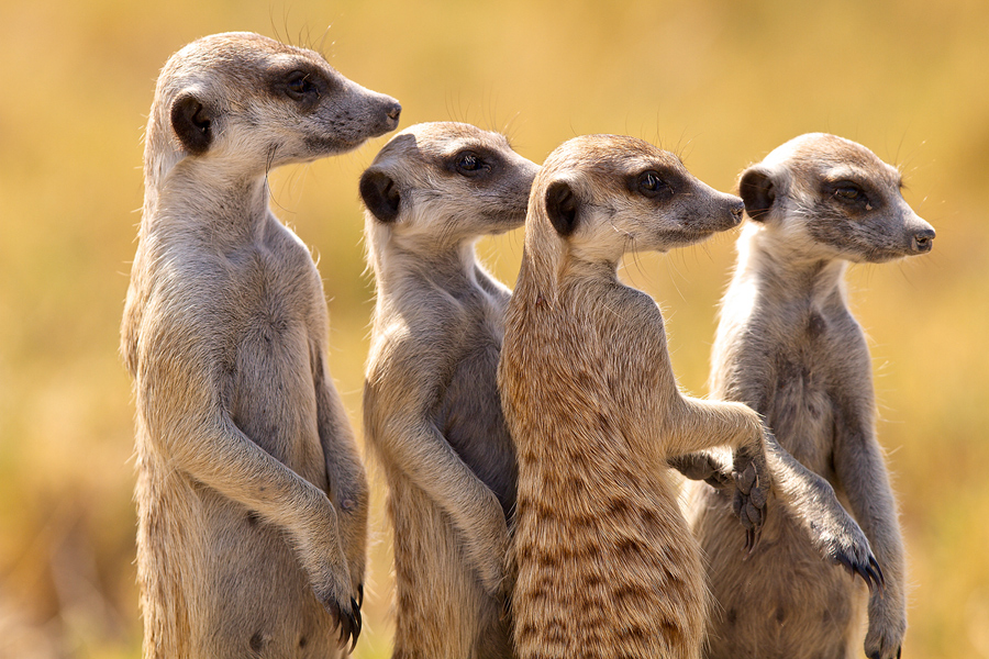 Botswana A25UK DX News Meerkat, Ntwetwe Pan.