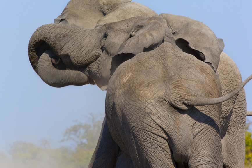 Botswana A25TQ Tourist attractions Two Bull Elephants Fighting Botswana