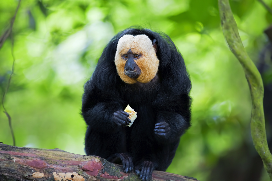 French Guiana FY/PA3FHD FY/DL3LUM Whited Faced Saki monkey