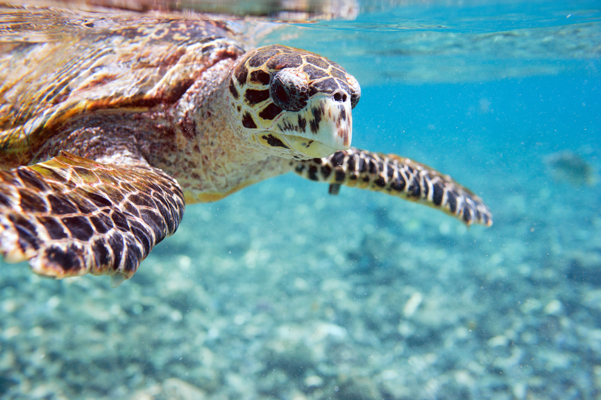 Seychelles Islands S79LCA DX News Hawksbill sea turtle
