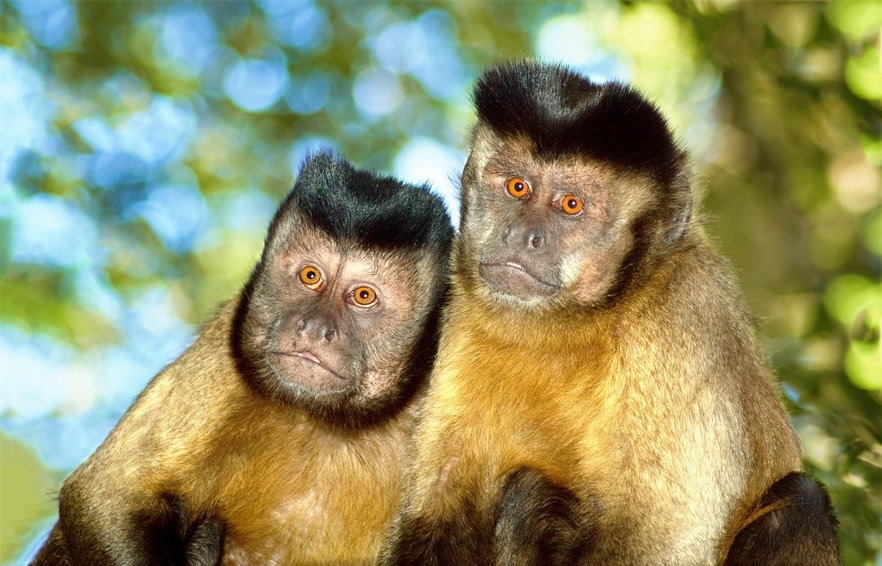Suriname PZ5AV Tourist attractions Capuchin monkey pair