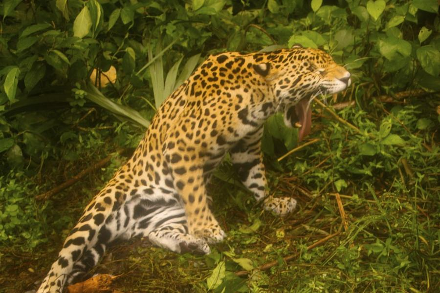 Belize V31GX Tourist attractions spot Jaguar