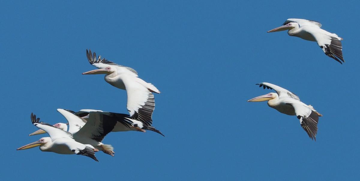 C56BR Great White Pelicans, The Gambia. DX News