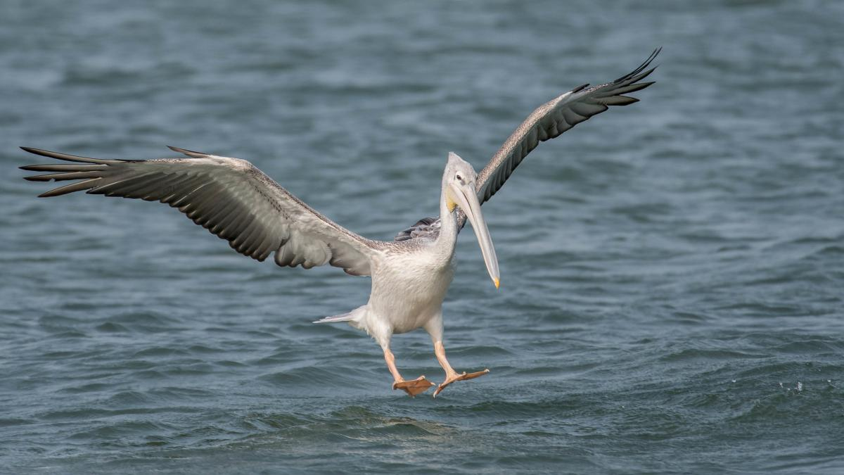 C56PIS Pink-backed Pelican, Tanji Beach, Kombo South, The Gambia. Tourist attractions spot