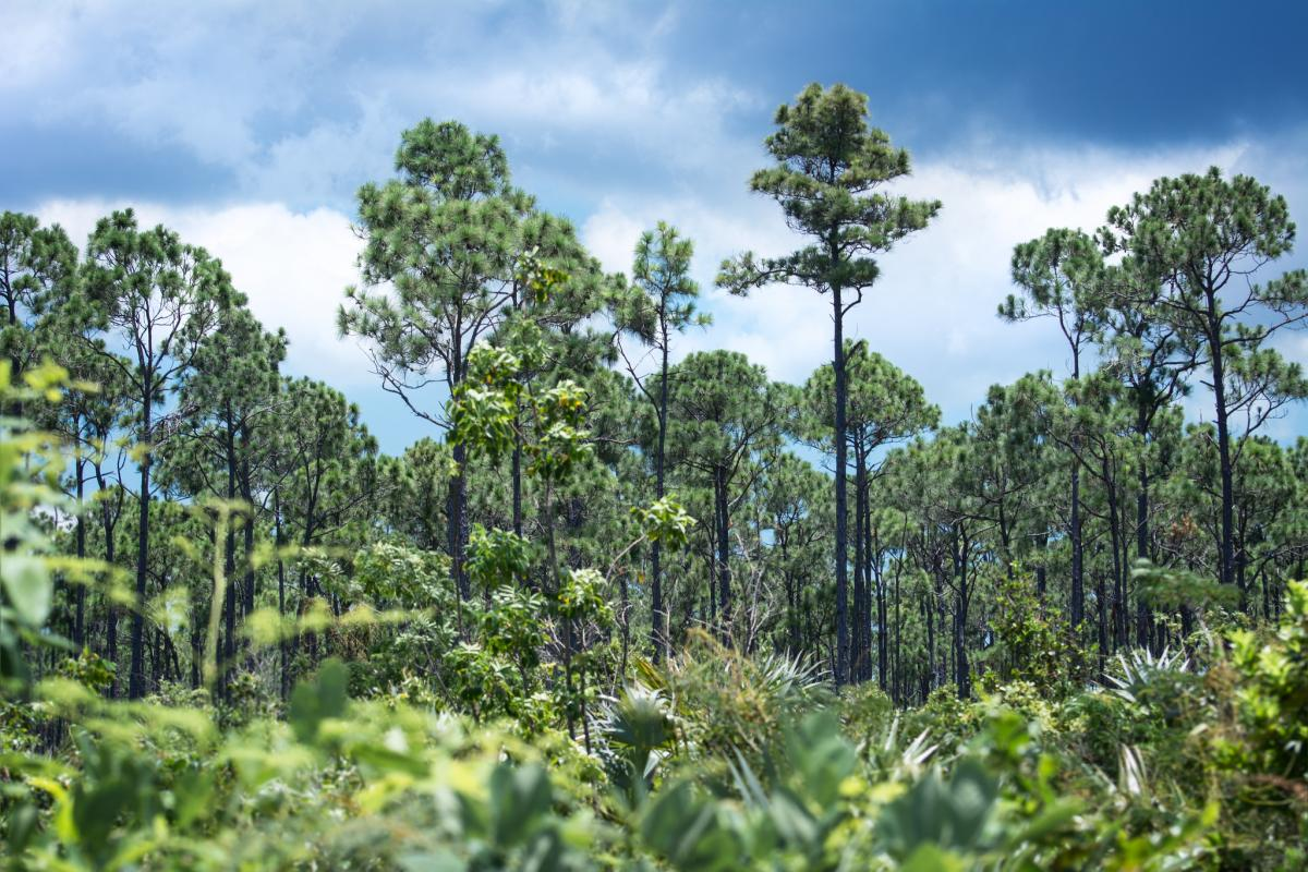 C6AEI Pine Forest, Lucayan National Park, Grand Bahama Island, Bahamas. Tourist attractions spot