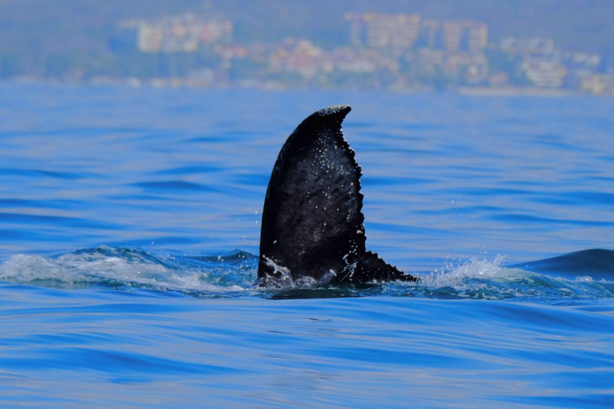 XE1RCS Whale watching, Puerto Vallart, Mexico. DX News