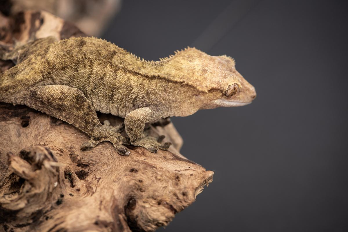 FK8CJ Crested Gecko, New Caledonia. Tourist attractions spot