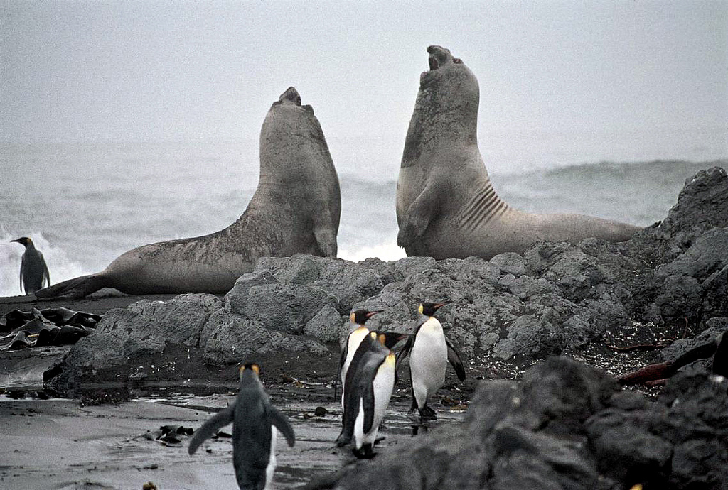 FT5WQ Young male elephant seals (Mirounga leonina) fighting, Possession Island, Crozet Islands. DX News.