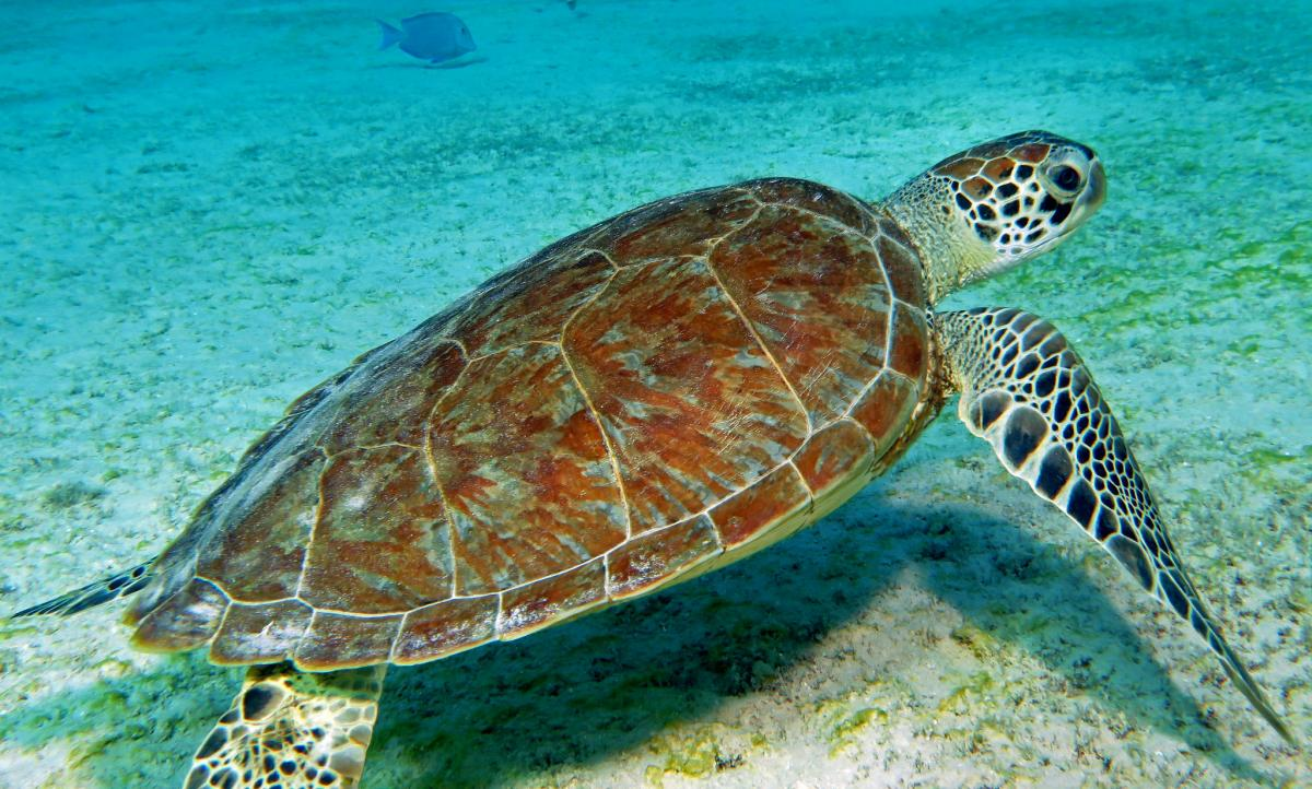 PJ4/K5SL Green Sea Turtle, Bonaire Island Tourist attractions spot