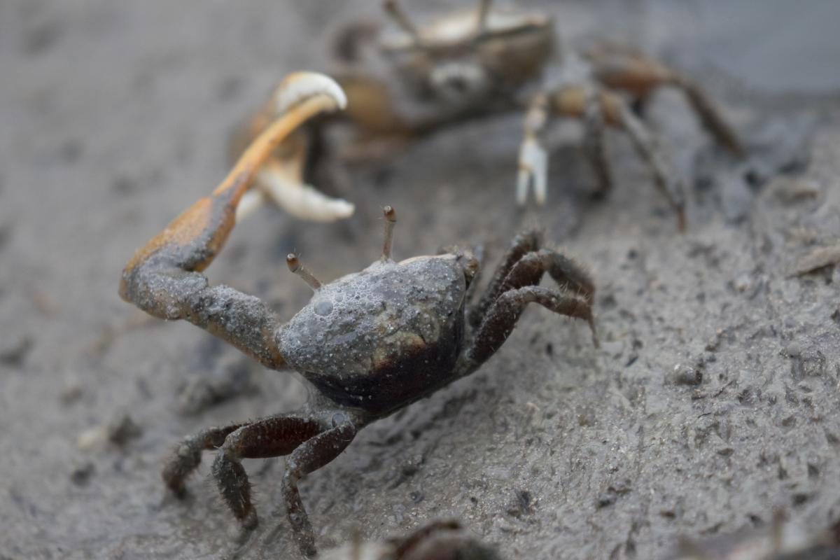 TO3F FM/OQ3R Mudflat Fiddler Crab, Les Salines, Martinique. Tourist attractions spot