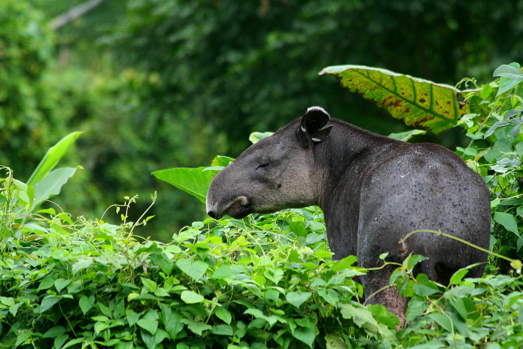V31MK Tapir, Belize DX News