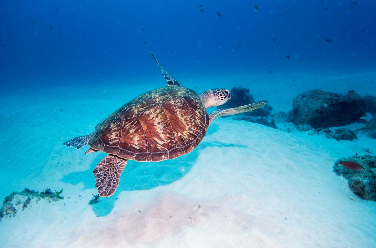VK9LQ Green Turtle, Lord Howe Island. Tourist attractions spot