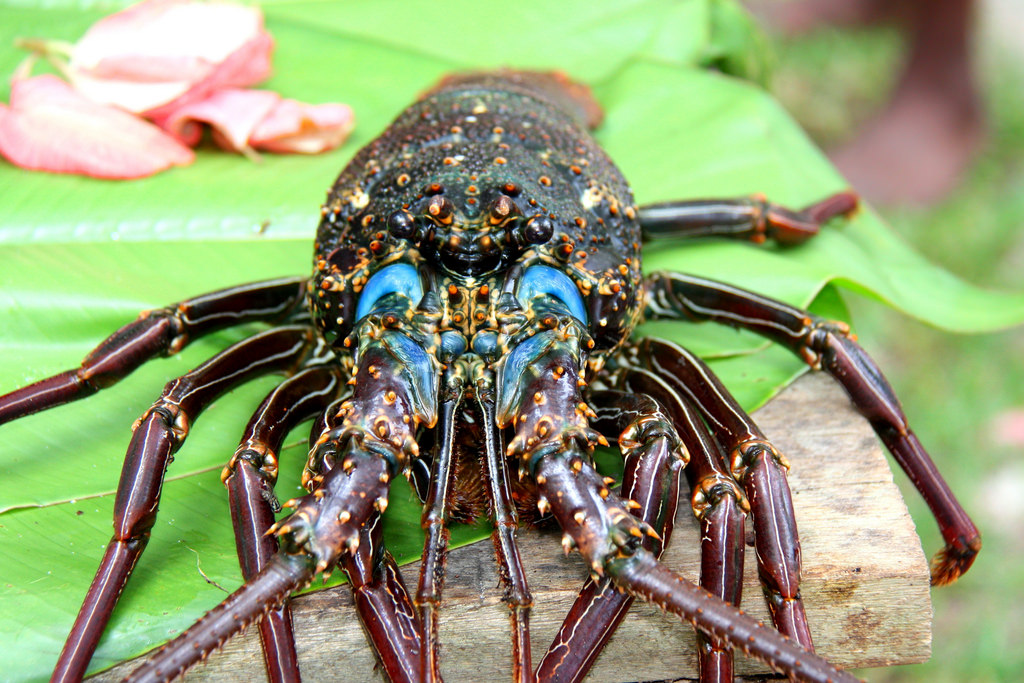 Vanuatu YJ0CX DX News Lobster from Champagne Bay