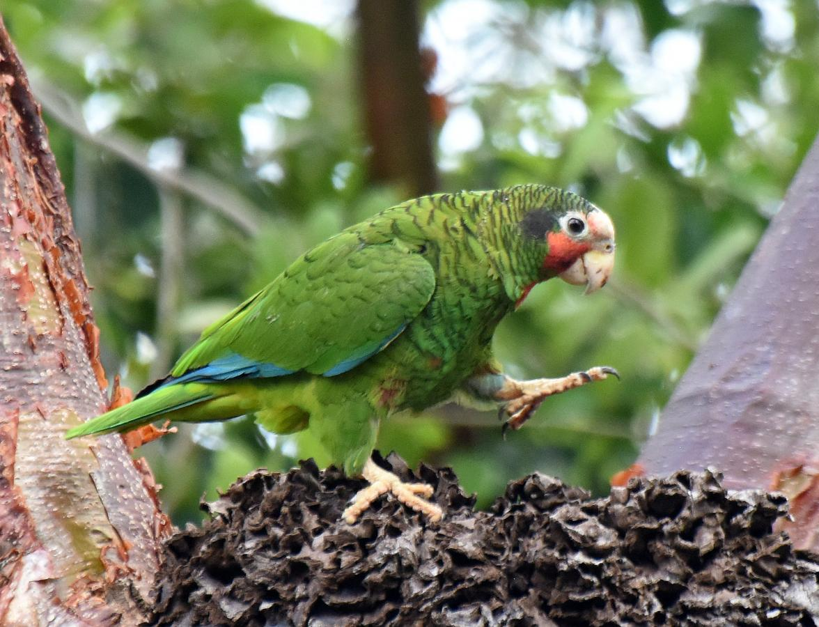 ZF2AN Cuban Parrot, Grand Cayman Island, Cayman Islands. DX News