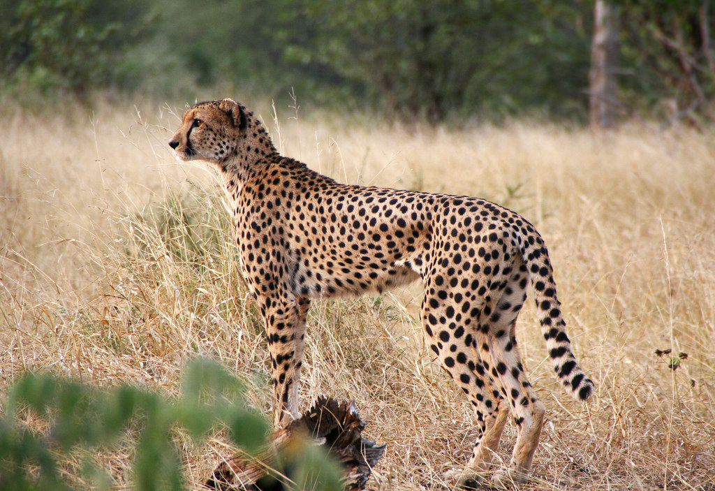Zimbabwe Z25DX DX News Cheetah