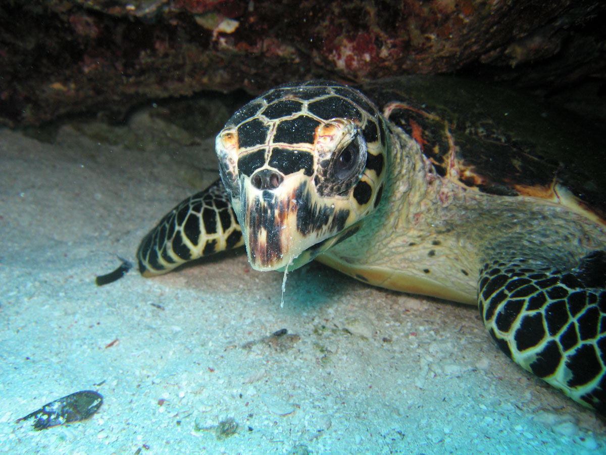 YC8AO/P Turtle, Taka Bonerate Islands. Tourist attractions spot