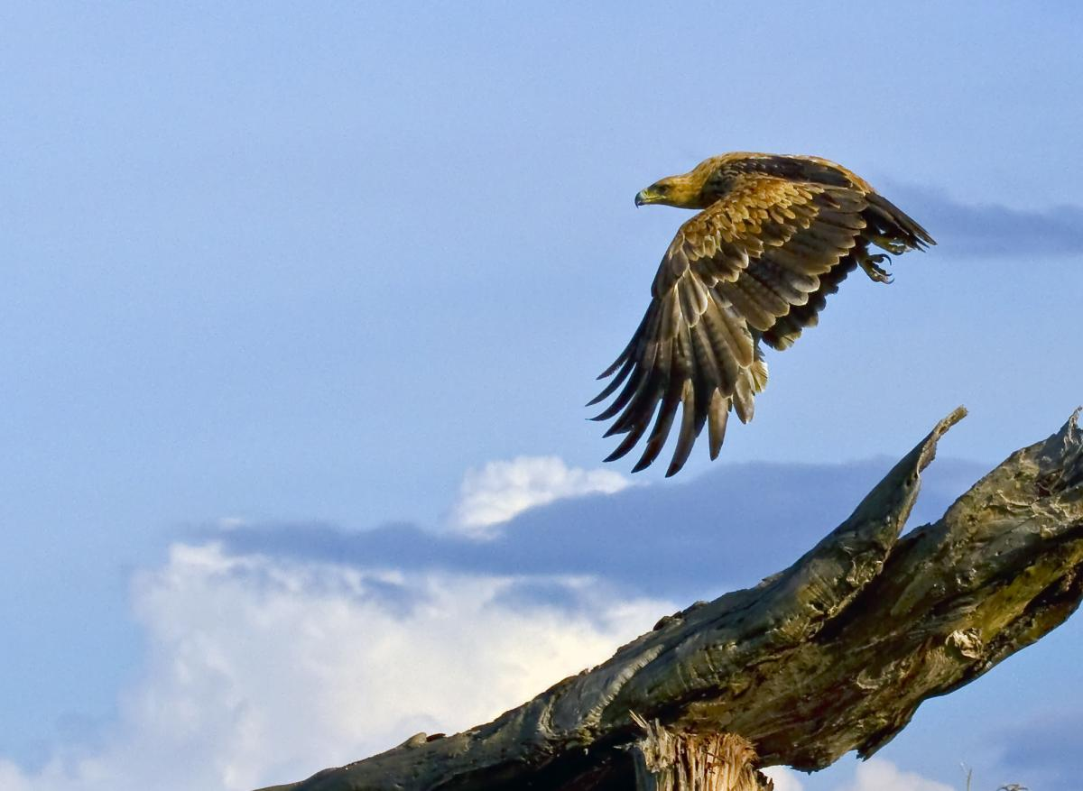 Z23MD Bird of Prey in Flight, Hwange National Park, Zimbabwe. DX News