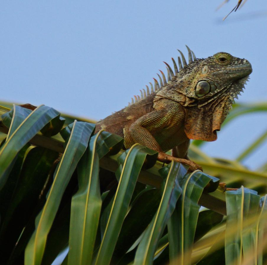 ZF2LT Green Iguana, Grand Cayman Island, Cayman Islands. DX News