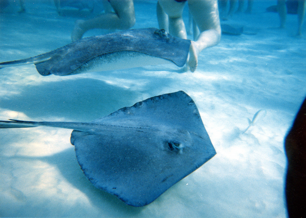 ZF2OK Swimming with Sting Rays, Cayman Islands. Tourist attractions and spot.