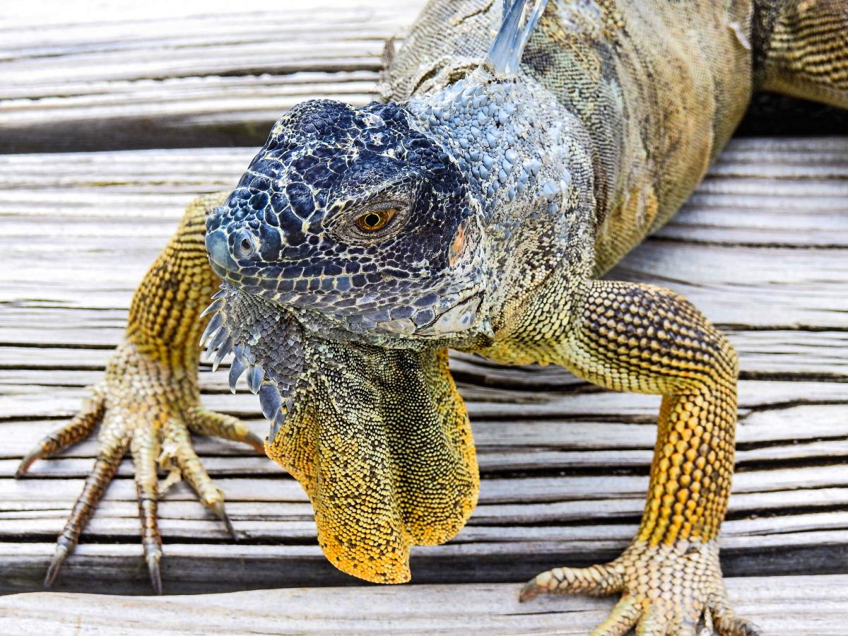 ZF2ZE Blue Iguana, Grand Cayman Island, Cayman Islands